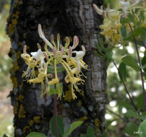 madreselva-Lonicera-implexa